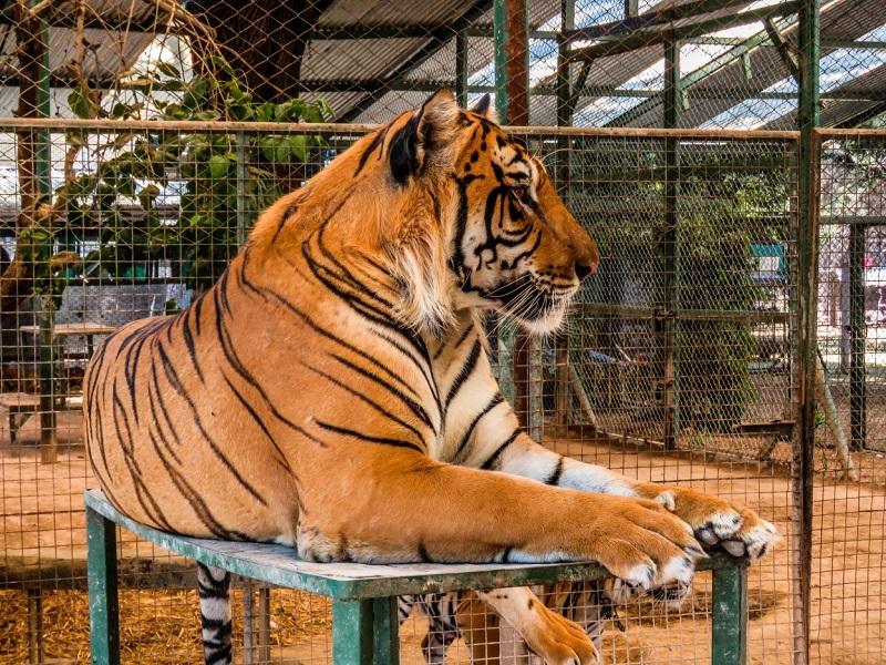Leopardo no zoológico de Luján